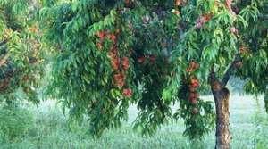 peach tree, image by Flickr user Julie Falk