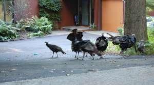 turkeys in Madison, Ellen Macdonald (CC-BY-NC-SA)