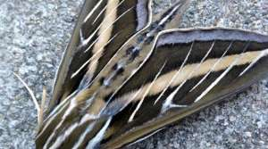 whitelined sphinx moth, photo by Gigi Becker