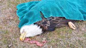Read full article: Federal authorities investigate a bald eagle poisoning