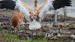 Read full article: Whooping cranes lift off from new training site
