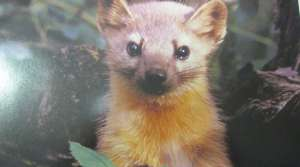 Read full article: Wisconsin DNR will try to boost American marten population