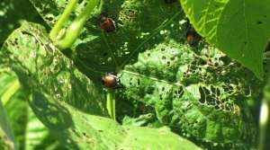 Read full article: Japanese beetle expected to expand across state
