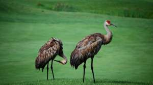 Read full article: DNR considers hunting season for sandhill cranes