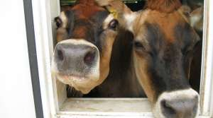 Read full article: Summer Heat Means Less Milk from Wisconsin Cows