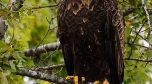 Read full article: Bald Eagles Living Closer Together as Population Rises