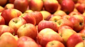 Read full article: As Apples Tumble, Prices Expected to Rise