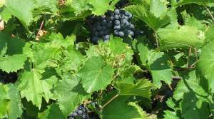 Read full article: Spring Frost, Summer Drought Impact Grape Harvest