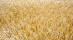 Read full article: Drought Delivers Best Year on State Record for Wheat Crop