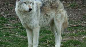Read full article: State Wants Wolf Lawsuit Dismissed