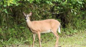 Read full article: Walker Suspends 4-Day Antlerless CWD Zone Hunt