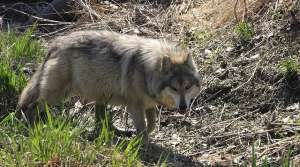 Read full article: No Dogs in Wolf Hunts, For Now