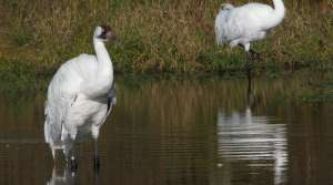 Read full article: Record Number of Whooping Cranes Hatched in Wisconsin, But Most Don't Survive