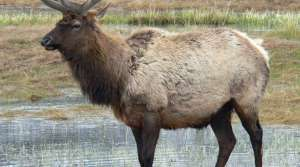 Read full article: Tribes to Hunt Transplanted Elk Herd