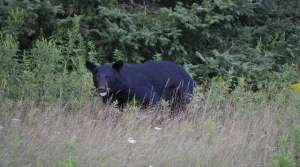 Read full article: Hunters May Find Bears More Plentiful