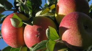 Read full article: Wisconsin Apple Harvest Mixed