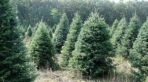 Read full article: Christmas Tree Farms Doing Quite Well