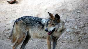 Read full article: Both Sides Claim Victory In Latest Wolf Hunt Ruling