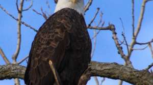Read full article: Counting Eagles From The Sky