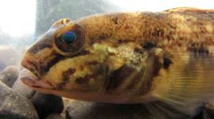 Read full article: Invasive Goby Population Up Near Lake Michigan
