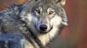 Read full article: Lawsuit Attempts To Put Gray Wolves Back On Endangered List