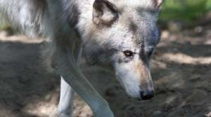 Read full article: DNR Reconsiders Allowing Dogs On Wolf Hunts