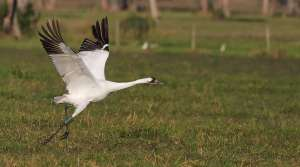 Read full article: Some Migrating Whooping Cranes Do Not Reach South During Winter