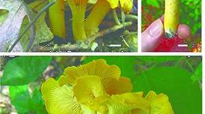 Read full article: UW-La Crosse Mycologists Find 3 New Species Of Chanterelle Mushroom