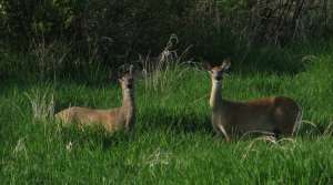 Read full article: Higher Numbers Of CWD-Infected Deer In Iowa Co. Worry Wildlife Researchers