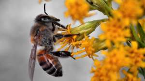 Read full article: Why Are Honey Bee Populations In Decline?