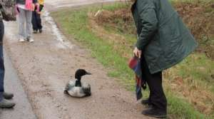 Read full article: Ice Storm Wreaks Havoc On Migrating Loons