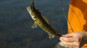 Read full article: Walker Pushes Proposal To Increase Northern Wisconsin Walleye Stock