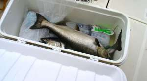 Read full article: As Spearfishing Winds Down, DNR Bag Limits Go Up