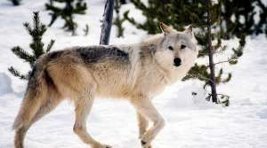 Read full article: DNR Committee Recommends Higher Wolf Hunt Quotas
