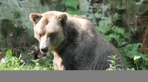 Read full article: Bears, Facing A Tough Spring, Become Bolder In Their Foraging Habits