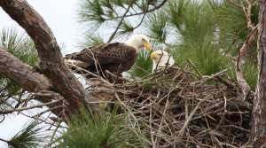 Read full article: Bald Eagles Occupy Record Number Of Nests
