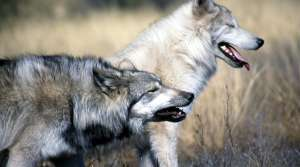Read full article: U.S. Fish And Wildlife Service Wants To Take Grey Wolf Off Endangered List