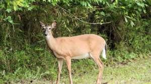 Read full article: DNR Seeks Public Feedback On Deer Trustee Report