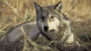Read full article: DNR Board Approves Increased Wolf Hunt Quota