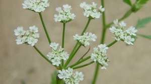 Read full article: Japanese Hedgeparsley: A New Invasive Species That's Spreading Rapidly