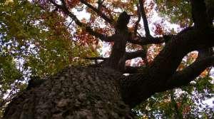 Read full article: UW-Platteville Wants Public's Help In Hunt For Old Oak Trees