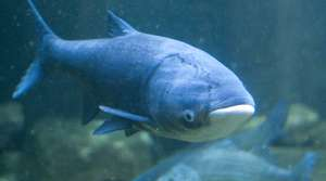 Read full article: Proposed Fish Passage Raises Concerns About Asian Carp