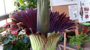 Read full article: 'Corpse Flower' In Bloom At UW-Madison Greenhouse