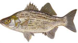 Read full article: DNR Finds Some Fish Less Contaminated, Eases Consumption Warnings