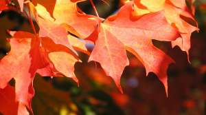 Read full article: Why Some Leaves Are Already Changing Color In Wisconsin