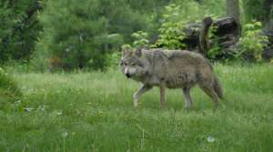 Read full article: DNR Says Wolf Hunt Quotas Will Adjust With Population