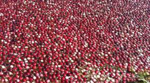 Read full article: It's A Potentially Record-Breaking Cranberry Season In Wisconsin