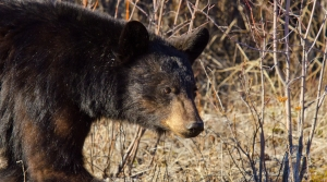 Read full article: DNR Increases Bear-Kill Quota By 17 Percent