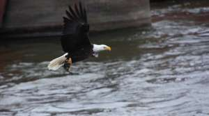 Read full article: Bald Eagle Nest Count In Wisconsin Continues To Increase
