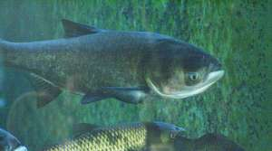 Read full article: Public Hearing On Asian Carp Prevention Underscores Concern For Great Lakes